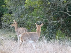 Rare sighting of mountain reedbuck