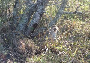Close encounter with a Vervet monkey