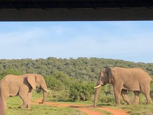 Two male elephants about to have a conversation