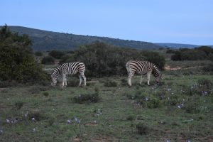 Zebra from the game drive