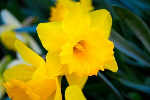 Daffodil Month April 2019