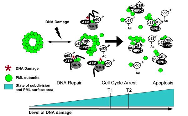 DNA_Damage_PML_Model