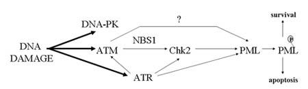 kinase_pathways