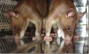 apopo-rats-trained-to-sniff-tuberculosis-in-africa6
