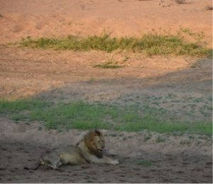 At the Ruaha Park, a lion enjoys his afternoon laziness