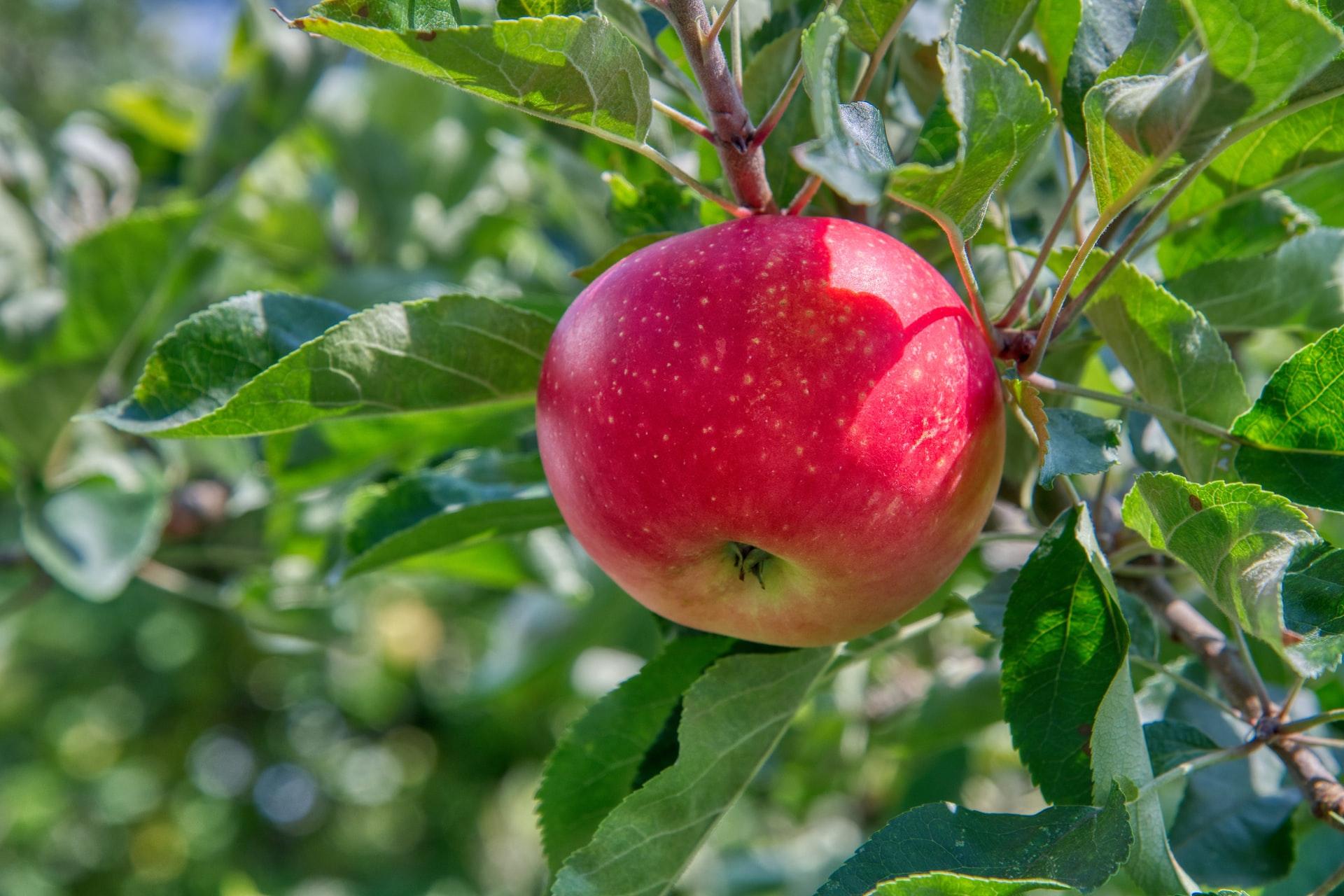 A honeycrisp apple tree