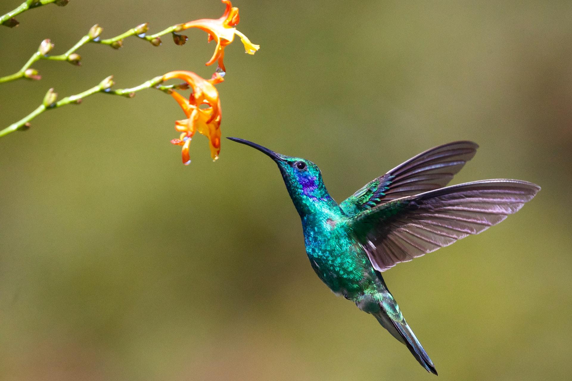 A hummingbird approaches a flower